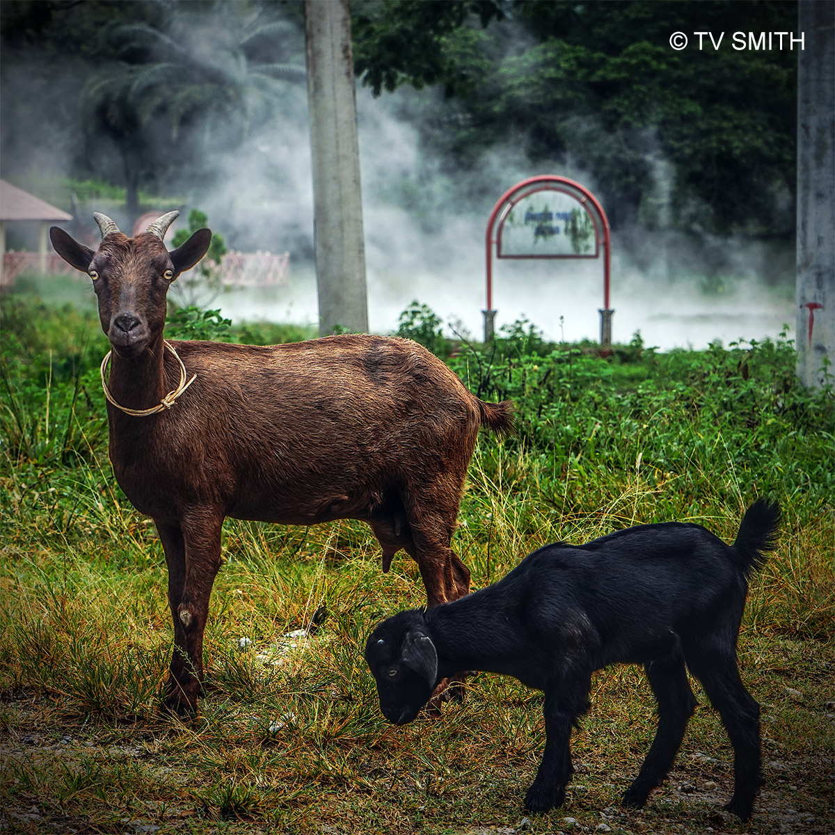 The Goats Who Stare At Men